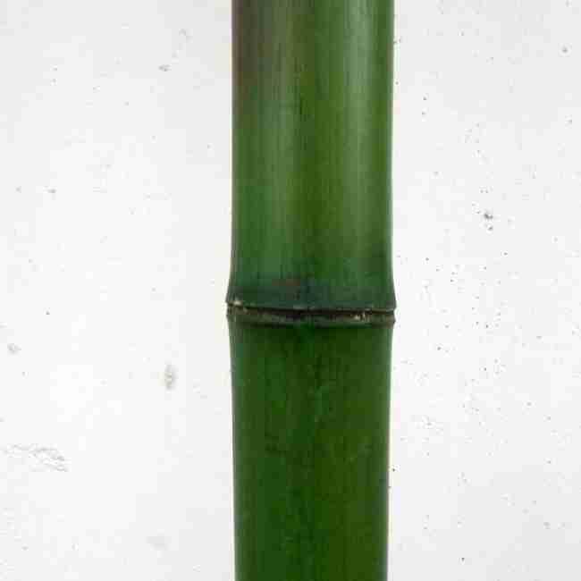 Ствол бамбука некрашенный d 105-120мм L=3м